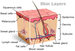 Picture of the Skin layers in the body 2015